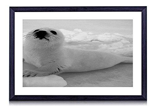 Baby Harp Seal - Art Print Black Wood Framed Wall Picture Black White