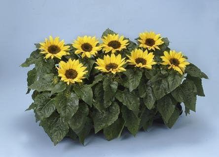 American Giant Variety best flower. hand selected Sunflower seeds x20 UK grown