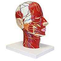 Education Scientifics Half Head Superficial Neurovascular Model with Musculature, Life Size for Anatomical Teach and Neck Vessels Nurse Study Training