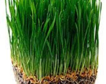 Organic (Certified USDA)Hard Red Wheat Seeds by Stonysoil Seed Company for growing Wheat grass for juicing,or Sprouting