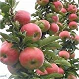 20Pcs Pomegranate Seed Sweet Delicious Fruit Succulents Tree Bonsai Garden BD109