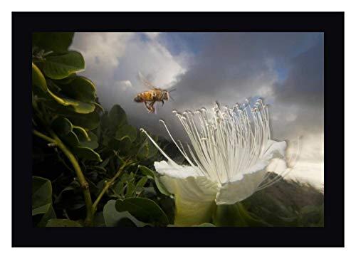- Honey Bee Approaching Rare Maiapilo Flower, Kauai, Hawaii by Mark Moffett - 11