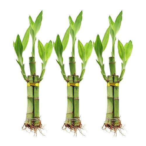 (50 Seeds Stalk Lucky Bamboo Arrangement Bundle)