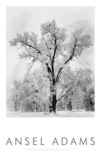 Ansel Adams Black And White - Oak Tree Snowstorm by Ansel Adams 24x36 Black & White Landscape Print Poster