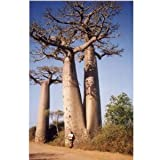 "Hinterland Trading 5 True Adansonia Digitata ""Baobab"" Bottle Tree Seeds Rare Find"