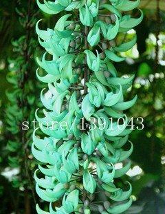 20 Stück Gefährdete Jadewein Blumensamen seltene blaue Blumen Bonsai Glyzinie Blumensamen für zu Hause Gartenpflanzer Hof vergossen