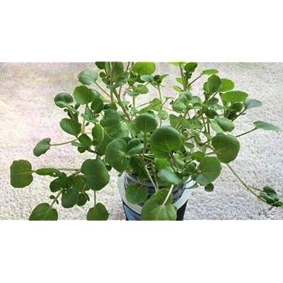 """4 Live Watercress aka Nasturtium officinale Plants Perennials Herbs Fit 3.5"""" Pot #TND24 : Garden & Outdoor"""