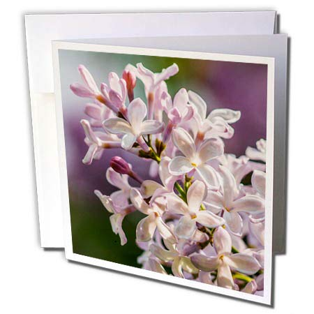 Beautiful Light Photography - 3dRose Alexis Photography - Flowers Lilacs - Beautiful Lilac Flowers. Closeup View, Sunlight, Purple Backdrop - 12 Greeting Cards with envelopes (gc_288334_2)