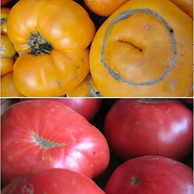 50+ Seeds of Old Heirloom Lycopersicon lycopersicum - Red & Yellow Brandywine Tomato. Delicious Rich & Creamy aftertaste! 90 Days.