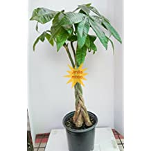 Money Tree Pachira 27'' Thick Big Large Trunk outdoor 2 gallons Pot Unique From Jmbamboo