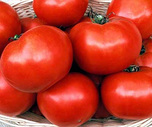 Florida 91 F1 Hybrid Tomato Seeds - Good yields of 9 to 11 oz red Tomatoes!!(25 - Seeds) ()