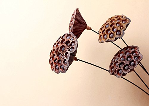 Natural-Dried-Flower-Lotus-Pods-on-Stems-With-Seed-And-Real-Rod-Dried-Floral-Crafts-Pack-of-5-dia-7-9cm