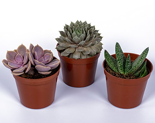 Seville Farms SUC008 Mini Succulent Trio - Fully Rooted in 2inch Pots - Live Plant, 3 Pack, 2.5
