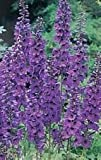 50 BLACK KNIGHT DELPHINIUM Cultorum Pacific Giant Larkspur Flower Seeds *Comb S/H