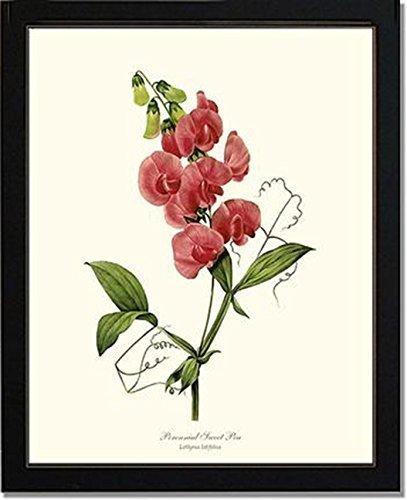 Vintage Botanical Flower Art Print: Sweet Pea, Perennial (Redouté) -