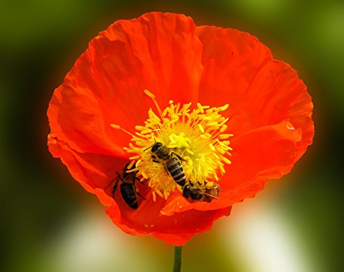 Poppy Nectar - Home Comforts Flower Animal Nature Poppy Blossom Nectar Bee Poster 24x16 Adhesive Decal