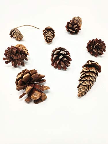 (Raw Earth Colors Pine Cones in Bulk - 100 Pinecones)