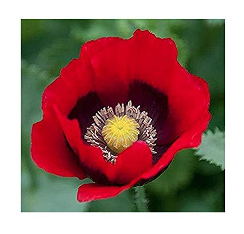 Marde Ross & Company Pepper Box Poppy Seeds