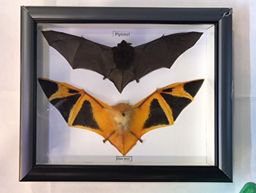 Pair of Fire Pipistre Orange Bat Taxidermy Mounted Framed Viet Nam