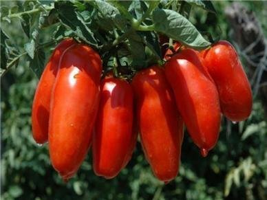 David's Garden Seeds Tomato Paste San Marzano D598GBV (Red) 50 Organic Heirloom Seeds