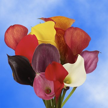 GlobalRose 30 Stems of Assorted Color Calla Lilies - Fresh Flowers for Delivery by GlobalRose