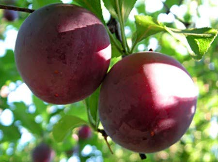 (3 Gallon Bare-Root Set of Two Plants) Santa ROSA Plum Trees, Abundant Producer. Medium Size, Red Skin with Deligious, Golden Flesh. Vigorous and Easy to Grow. Grafted,