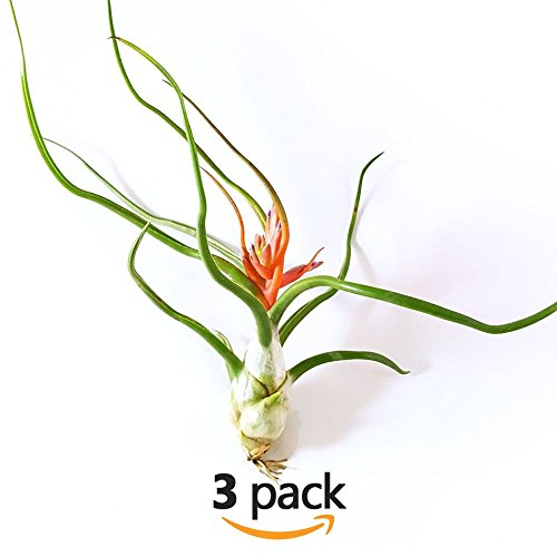 The Drunken Gnome AIR PLANTS – BULBOSA XL – 3 PACK - air purifying flowering tillandsia for terrarium, fairy garden starter kit, home office, indoor outdoor, corporate gift (3 PACK, X-Large - 6-10