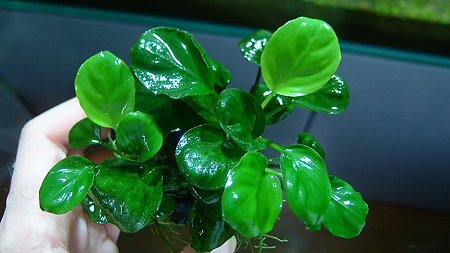 Risultati immagini per anubias barteri coin leaf