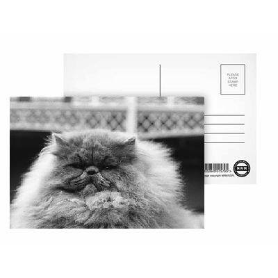 National Cat Club Championship at the Olympia. Blue Persian cat in the show - Postcard (Pack of 8) - 6x4 inch - Art247 Highest Quality - Standard Size - Pack Of 8 - National Cat Club