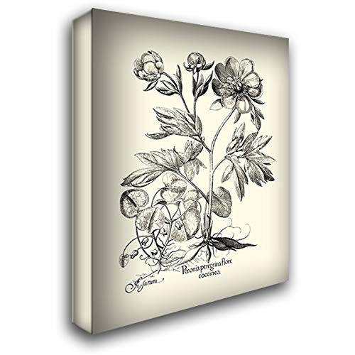 - Black and White Besler Peony III 36x46 Extra Large Gallery Wrapped Stretched Canvas Art by Besler, Basilius