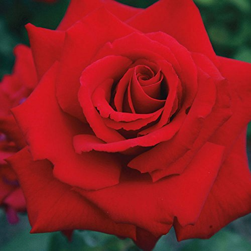 Grande Amore Rose Bush Repeat Blooming Red Rose - Grown Organic Potted Own Root - Stargazer Perennials (Plants Rose)