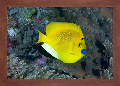 Indonesia Three spot Angelfish Swims amid Coral by Jones Shimlock - 24
