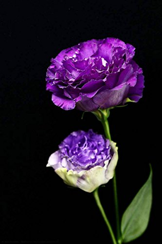 Lisianthus Seeds 50Pcs,Eustoma Fllower Seeds Plants Perennial Flowering Plants Balcony Potted Flowers Seeds (Purple Lisianthus Seeds)