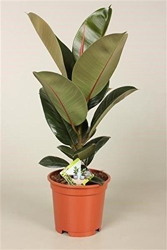 Rubber Plant in a 17cm pot (Ficus elastica Robusta). Approx 45-55cm tall Perfect Plants