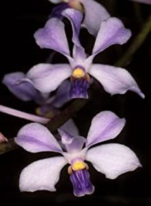 Exotic Plants Vanda coerulescens - orchid - 100 seeds
