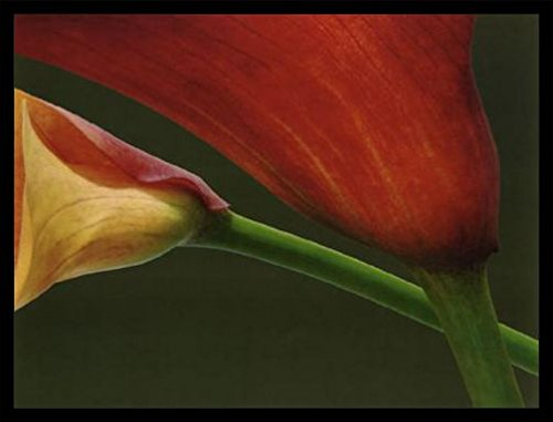 - 1art1 Jan Lens Poster Art Print and Frame (MDF) Black - Red Lilies (32 x 24 inches)