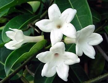 Madagascar Jasmine Plant - Stephanotis - 6