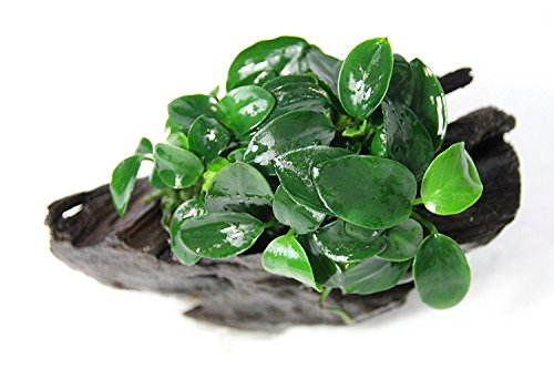 Anubias Nana Petite On Driftwood - Freshwater Live Aquarium Plants by Aquarium Plants Factory