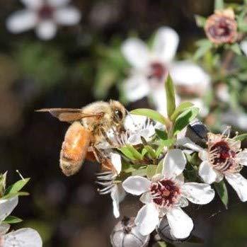 Manuka Honey UMF15+ eco-friendly, raw and pure by Tahi … (280 gram glass) by Tahi (Image #3)