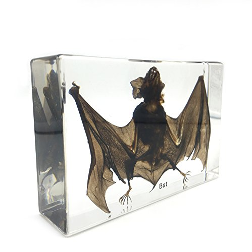 Taxidermy Real Bat Specimens Science Classroom Specimen for Science Education5.3