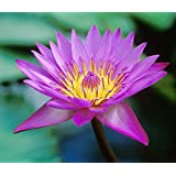 10 PURPLE LOTUS Water Lily Pad Nymphaea Sp Pond Flower Seeds *Comb S/H