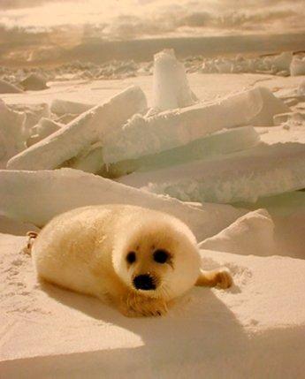 ブランケット快適暖かさソフトPlush Throw forソファかわいい赤ちゃんHarp Seal Pup in Snow Animal 60