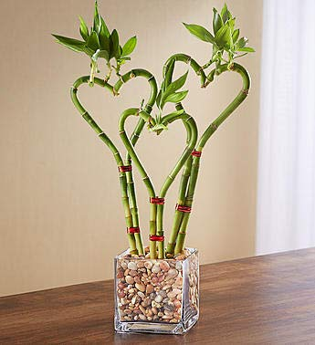 1800Flowers Heart Shaped Bamboo Plant in Glass Planter (Triple Heart) by 1-800-Flowers.com (Image #2)