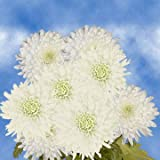 GlobalRose 50 Fresh Cut White Chrysanthemum Disbud Flowers - Fresh Flowers For Birthdays, Weddings or Anniversary.