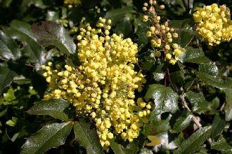 20 Stk. Mahonie - (Mahonia aquifolium)- Containerware 30-40 cm