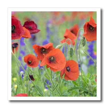 3dRose Danita Delimont - Flowers - Poppy Field, Mount Olive, North Carolina, USA - 10x10 Iron on Heat Transfer for White Material (ht_314960_3)