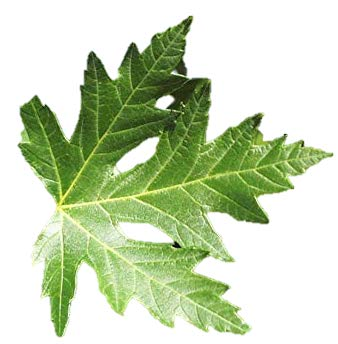Amazoncom Sugar Maple Tree 2 4 Tall Healthy Established