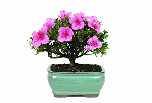 Azalea Bonsai tree with beautiful container