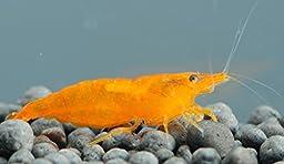 10 Live Orange Sakura Shrimp (Neocaridina davidi) - Breeding Age Young Adults at 1/2 to 1 Inch Long by Aquatic Arts