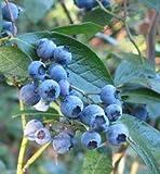 50 Highbush Blueberry Seeds Blueberries